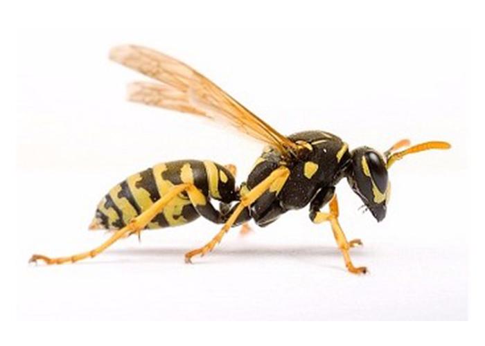 kalamazoo-pest-control-wasps