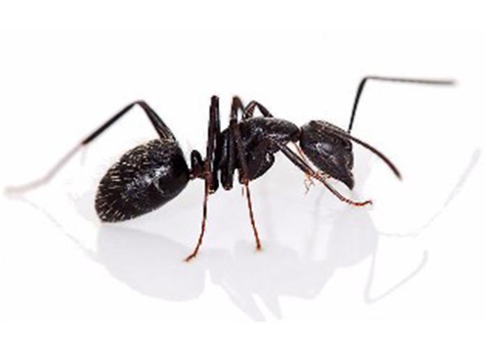 kalamazoo-pest-control-ants-2