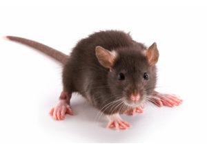 kalamazoo-pest-control-mice-rodents